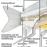 Kleine Anatomie der Fische