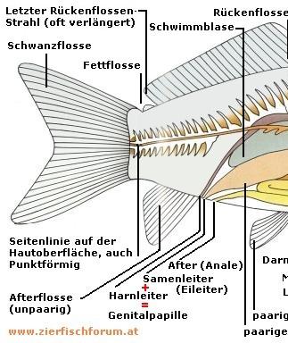 Kleine Anatomie der Fische - Zierfischforum