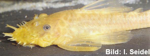 Ancistrus sp. dolichopterus 'albino' mit Ichthyophthirius-Befall