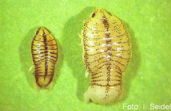 Nerocila sp., eine parasitische Assel, links das kleinere Männchen