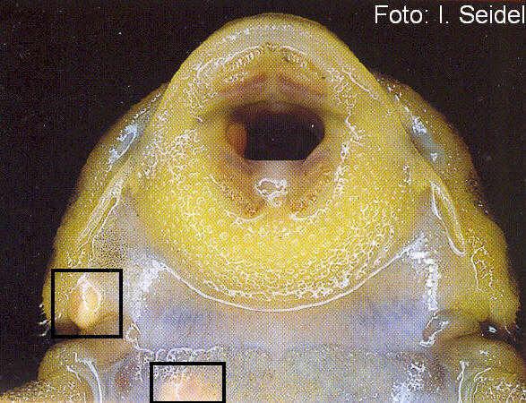 Metacercarien auf der Bauchseite eines Peckoltia sp. L 134