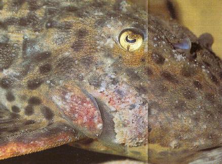 Pseudacanthicus sp. L 25 mit bakterieller Infektion und Glockentierchenbefall