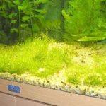 Riccia-Rasen im Aquarium