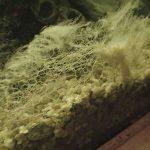 Schwamm, der aussieht wie eine weisse Alge