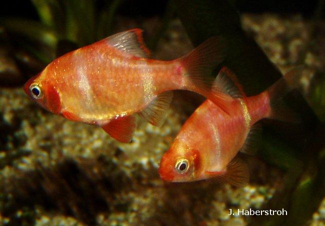 Zierfisch und wirbellose datenbank for Fadenfische zucht